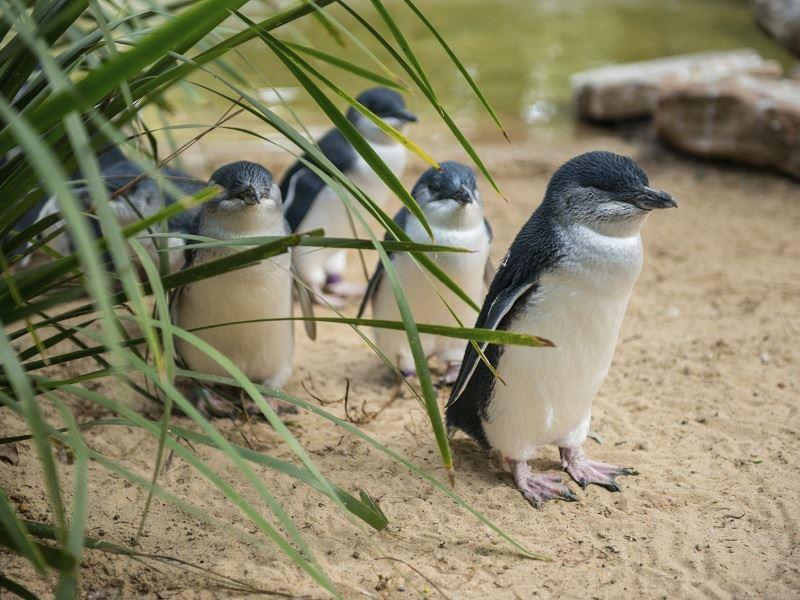 the little penguins of phillip island