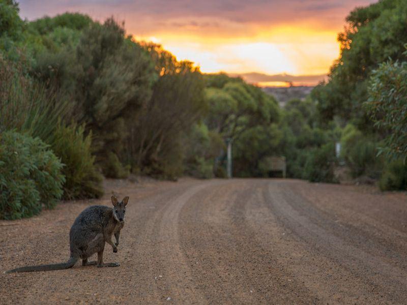 vivonne bay kangaroo island   tourism australia