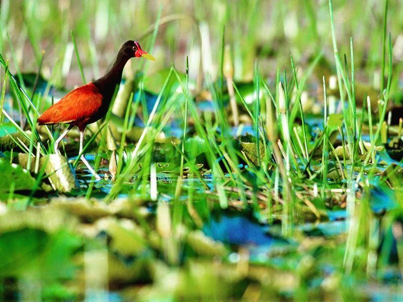 wattled janaca in tobagos wetlands