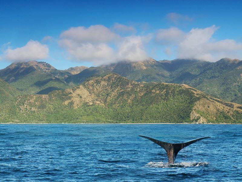whale kaikoura coast