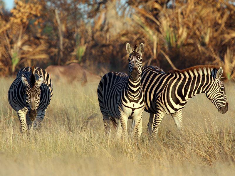 zebra in the okavango delta