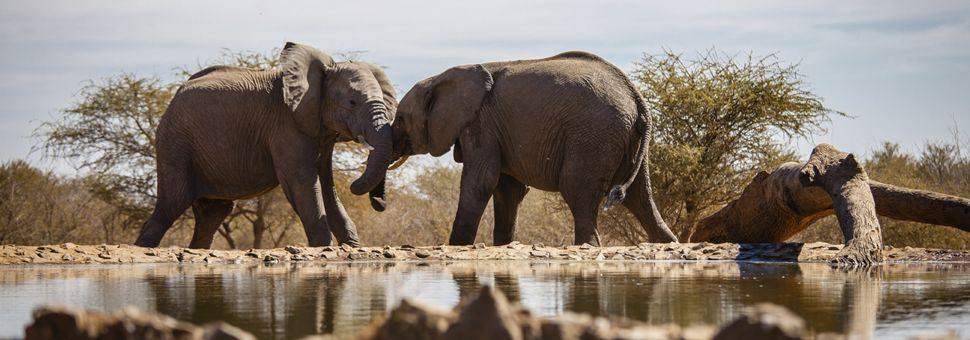 Wrestling Madikwe elephants