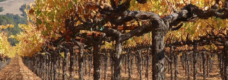 Row of grape vines in Sonoma Valley